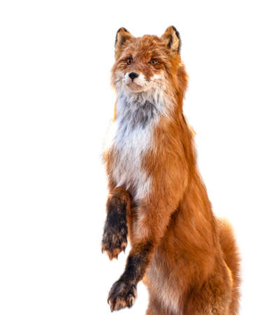 The Taxidermy of Fox isolated on white background
