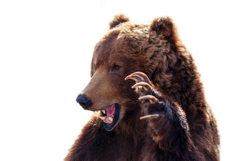 The Taxidermy of a Kamchatka brown bear on white background 版權商用圖片