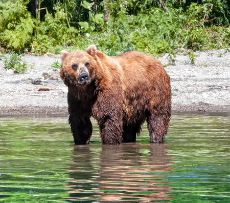 The Kamchatka Brown bear standing in the river.