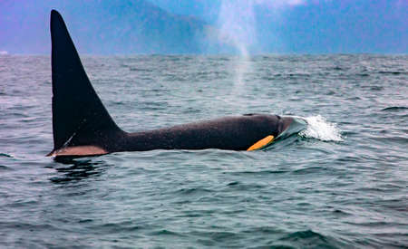 The killer whale in Kamchatka with the fin above water