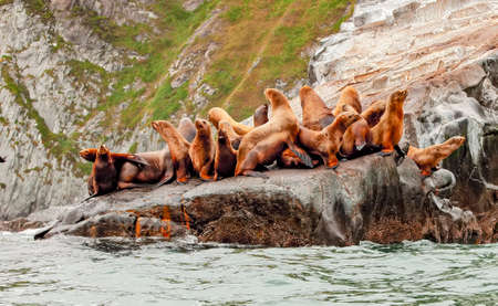 The Rookery Steller sea lions. Island in Pacific Ocean near Kamchatka Peninsula.