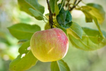 Delicious Apple Hanging from Tree waiting to be eaten