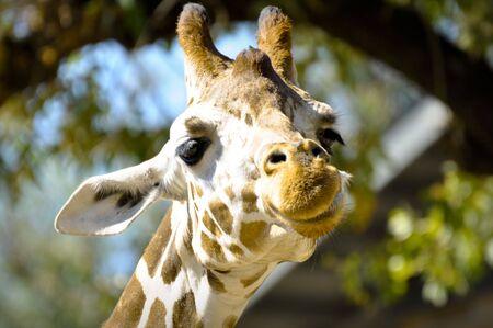 Curious Giraffe Banco de Imagens