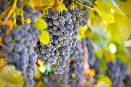 Red Wine Grapes Hanging from the Vine photo