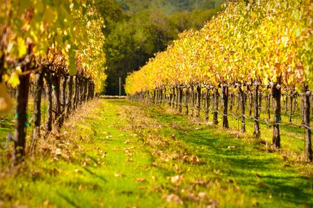 napa valley: Beautiful Vineyard in Fall Stock Photo