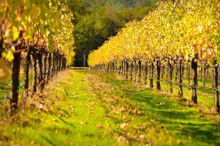 Beautiful Vineyard in Fall Imagens
