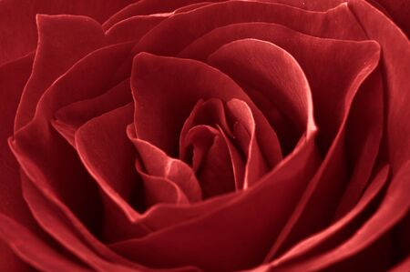 Close Up of a Red Rose for Love photo