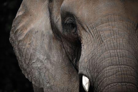 Aged Elephant looking straight ahead photo