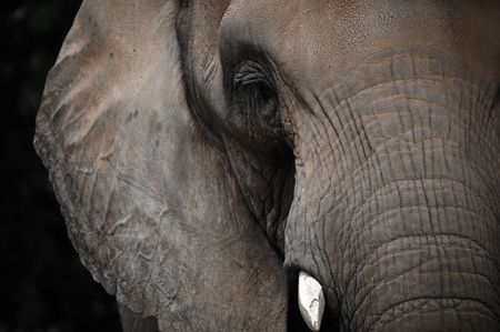 big eye: Aged Elephant looking straight ahead Stock Photo