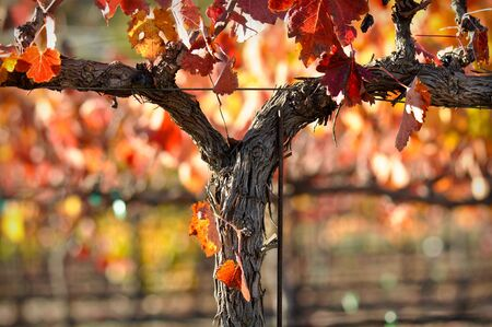 napa valley: Beautiful Napa Valley Vineyard Grape Leaves Stock Photo
