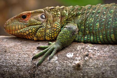 Beautiful Green Iguana Resting on a Tree
