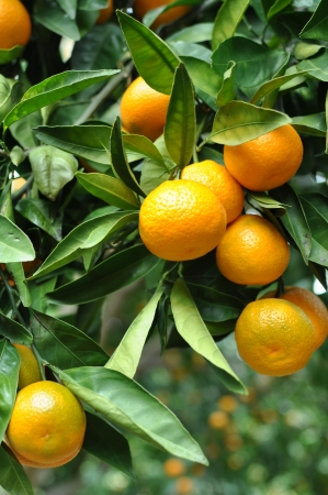 Ripe Tangerines hanging from the tree photo