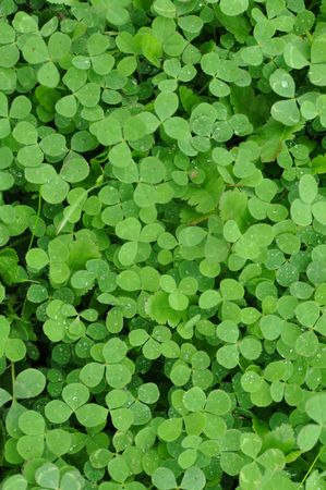 Verticle Green Clover Shamrock Background for St. Patricks Day photo