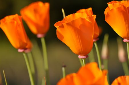 Closed California State Orange Poppy Flower  with Green Stems photo