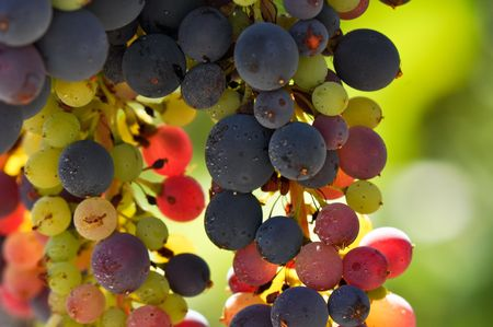Grapes on the Vine with multiple colors ready to be made into Wine in Napa Valley