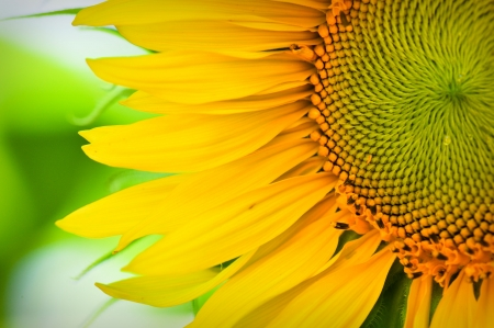 Sunflower Macro Close Up photo