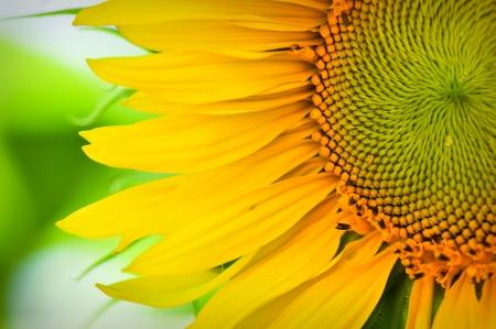 zonnebloem: Zonne bloem macro close up