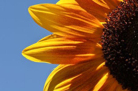Sunflower Macro Close Up Stock Photo - 7678023