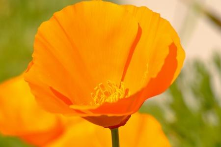California State Golden Orange Poppy photo