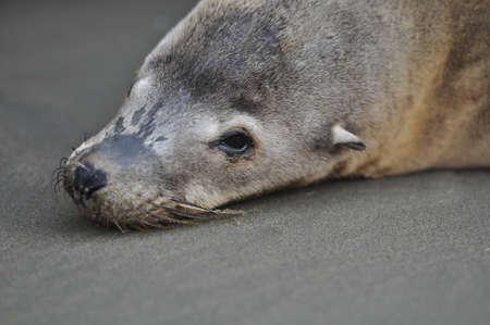 Sea Lion Seal Lying on the Beach photo