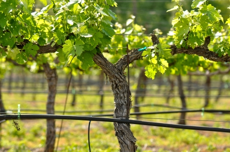 grapes on vine: Grape Vineyard in Spring Stock Photo