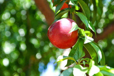 nectarine: Nectarine on Tree Stock Photo