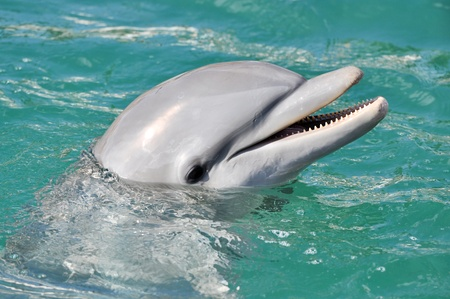 Delphin: Dolphin l�chelnd Close Up in Wasser Lizenzfreie Bilder