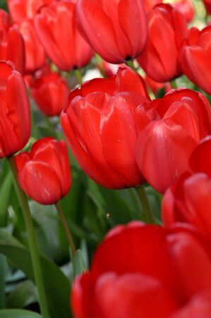 gorgeousness: Red Tulips Close Up Stock Photo