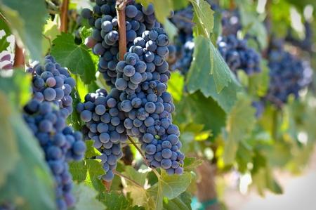 Červené hrozny na vinici Reklamní fotografie