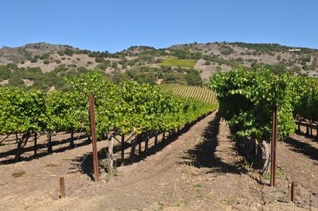 napa: Napa Valley Vineyard