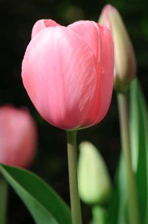 Single Pink Tulip photo