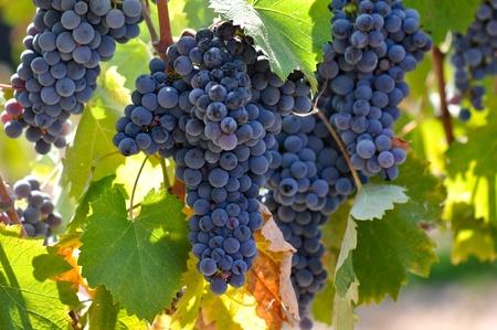 Red Grapes on the Vine 版權商用圖片