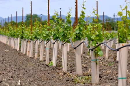 Grapes Vines being Planted Stock Photo