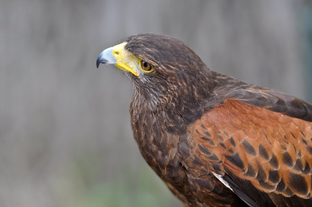 Harris Brown Hawk photo