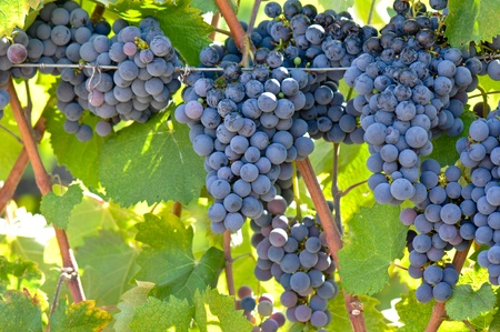 Red wine Grapes on the Vine Stockfoto