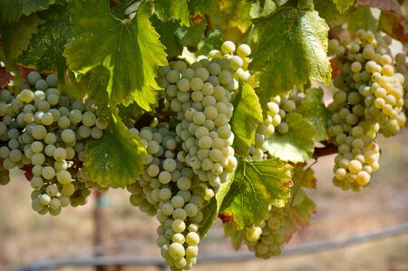 chardonnay: Green Grapes on the Vine