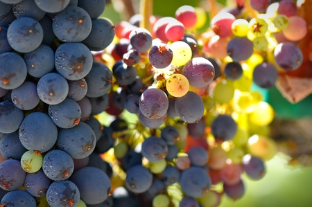 Close Up of Grapes on the Vine photo
