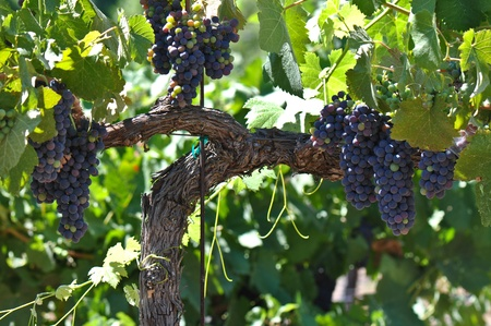 grapevine: Red Wine Grapes on the Vine