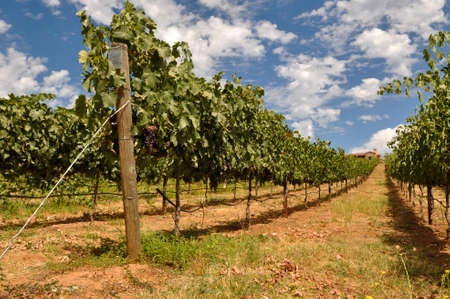Wine Vineyard with Blue Sky and Clouds Stock Photo - 11741275