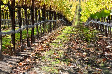 napa: Autumn Vineyard in Napa Valley