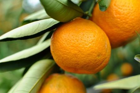 Tangerine on the Tree