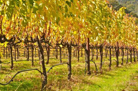 Vineyard in Fall photo