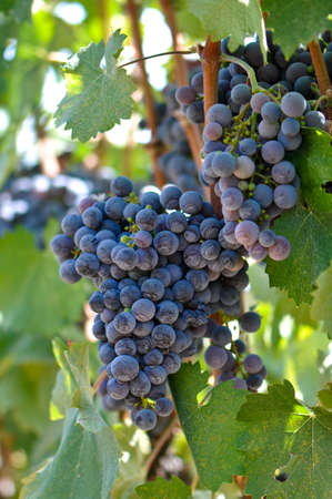 Red Grapes on the Vine photo
