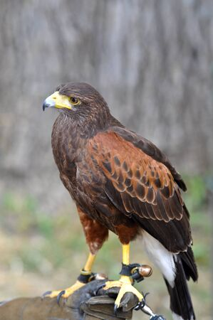 aigle royal: Buse de Harris étant détenu par Falconer