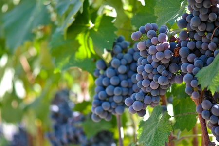 Red Grapes on the Vine Imagens