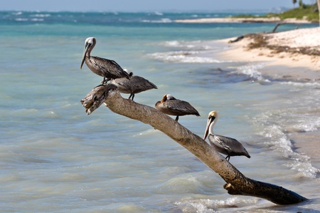 caribbean climate: Pelicans on a Tree