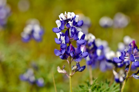 bluebonnet: Texas Blue Bonnet