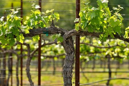Napa Grape Vineyard in Spring