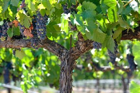 grape field: Red Grapes