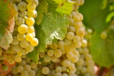 Chardonnay Grapes Close Up photo